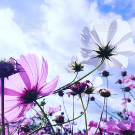 自然,風景,花,秋,コスモス