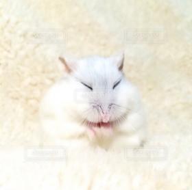 ハムスター,白,かわいい,寝る