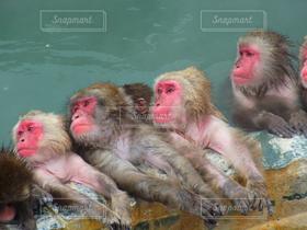 冬,猿,温泉,動物