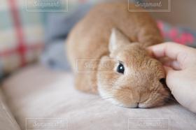 動物,うさぎ,rabbit,ネザーランドドアーフ,bunny,Netherland dwarf