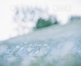 自然,風景,花,春,お花畑,白,青,ネモフィラ
