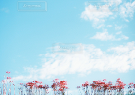 自然,風景,空,花,秋,お花畑,赤,雲,青空,彼岸花