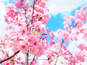 花,春,桜,大阪,青空