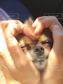犬,動物,ポメラニアン,手,ハート,可愛い,幸せ,愛犬,ちゃいろ