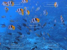 自然,海,夏,海水浴,魚,南国,きれい,熱帯魚,青,水,癒し,グアム,夏休み,リゾート,南の島,ダイビング,スキューバダイビング,水の中,水中写真,海中写真,チョウチョウオ
