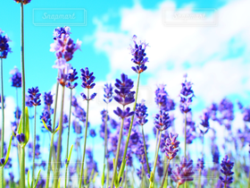 自然,空,花,夏,雲,青空,北海道,ラベンダー,加工なし
