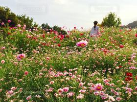 花,花畑,屋外,ピンク,コスモス,コスモス畑