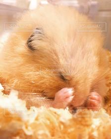 ハムスター,睡眠,キンクマ,寝相,寝,ゴールデン,金熊