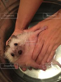 バケツ,ペット,ハリネズミ,風呂