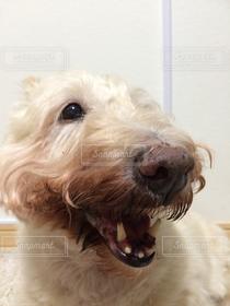 犬,鼻ぺちゃ軍団,笑う犬