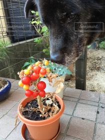 犬,緑,赤,かわいい,葉っぱ,トマト,いぬ,植木鉢,可愛い,みどり,雑種,ラブラドール,あか,大型犬,カワイイ,とまと