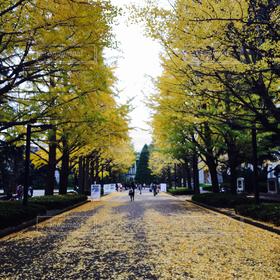 風景,秋,紅葉,銀杏,並木道,街路樹,銀杏並木
