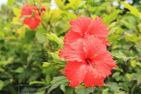 花,夏,ハイビスカス,沖縄,flower