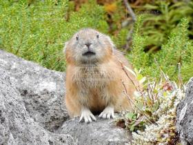 自然,風景,動物,うさぎ,野生動物,かわいい,北海道,ふわふわ,兎,可愛い,モフモフ,小動物,もふもふ,ウサギ,絶滅危惧種,カワイイ,うさたん,フワフワ,エゾナキウサギ