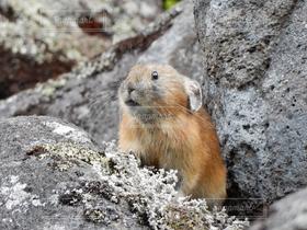 自然,風景,動物,うさぎ,野生動物,かわいい,北海道,ふわふわ,兎,可愛い,モフモフ,小動物,もふもふ,ウサギ,絶滅危惧種,カワイイ,ナキウサギ,うさたん,フワフワ,エゾナキウサギ
