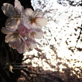 自然,風景,花,春,桜,ピンク,きれい,サクラ,ふんわり,桜の花