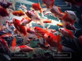 海,魚,赤,水,金魚