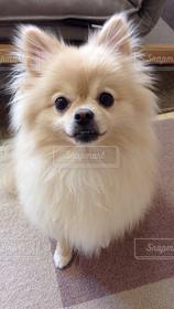 犬,動物,ポメラニアン,かわいい,ペット