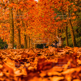 自然,公園,秋,紅葉,落ち葉,プラタナス
