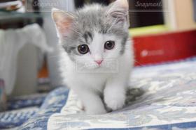 猫,動物,ペット,子猫