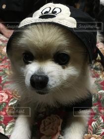 犬,ポメラニアン,わんこ,着ぐるみ